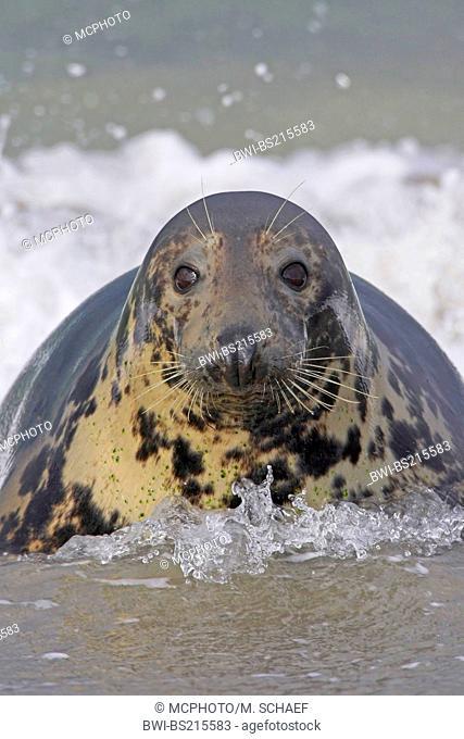 gray seal (Halichoerus grypus), at the coast, Germany, Schleswig-Holstein, Heligoland