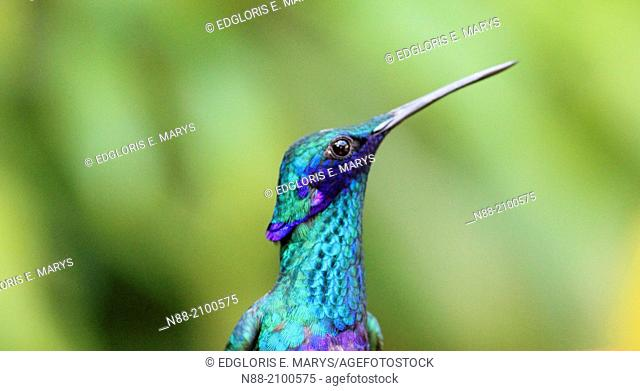 Sparkling violetear hummingbird Caracas Venezuela