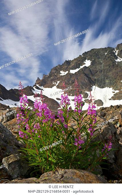 Fireweed Epilobium angustifolium blooming against a sky graced by cirrus clouds in late summer in the alpine cirque of Royal Basin, Olympic National Park