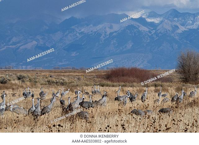 Sandhill Cranes (Grus canadensis) Sangre de Cristos back, Monte Vista National Wildlife Refuge, Colorado, USA