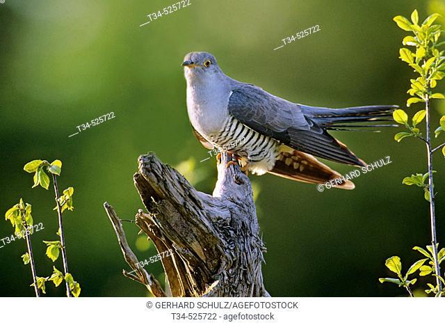 Cuckoo. Cuculus canorus. Mecklenburg-Vorpommern, Germany