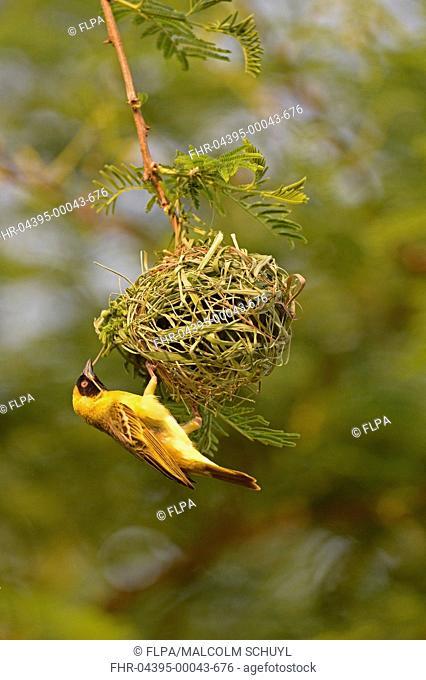 Southern Masked Weaver (Ploceus velatus) adult male, building hanging nest, Lusaka, Zambia, September