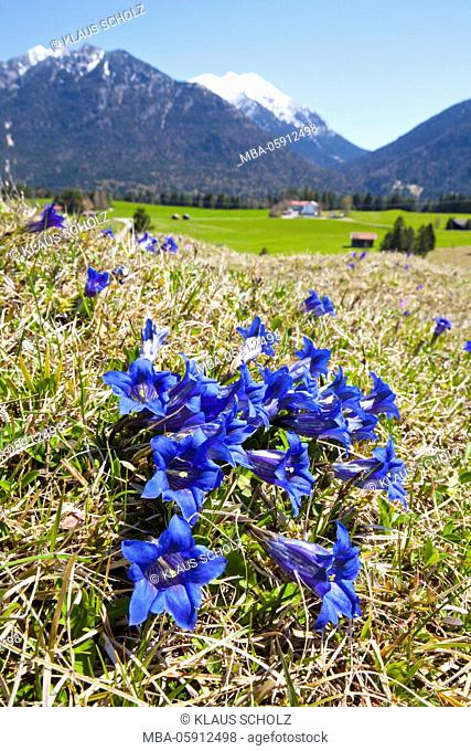 Gentian meadow in the mountains