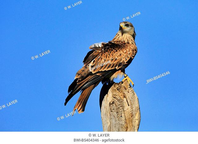 red kite (Milvus milvus), sits on a wooden post, Germany