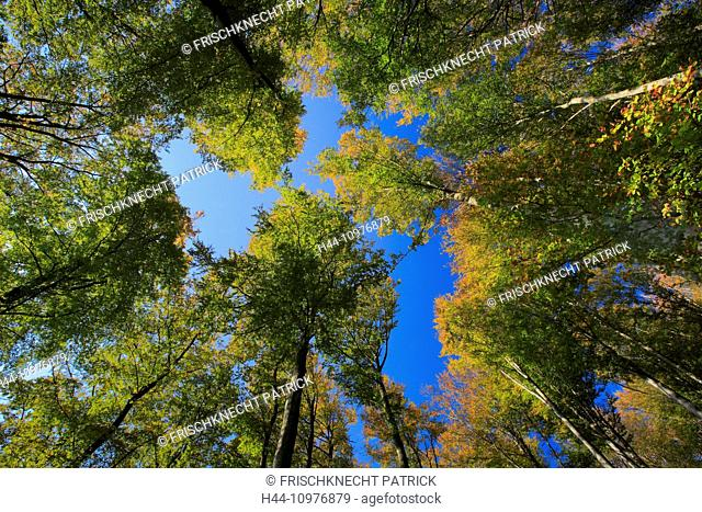 Tree, trunk, leaf, leaves, beech, beech forest, trees, autumn, sky, foliage, foliage tree broad-leaved trees, deciduous forest, perspective, copper beech