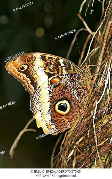 Owl butterfly Caligo sp