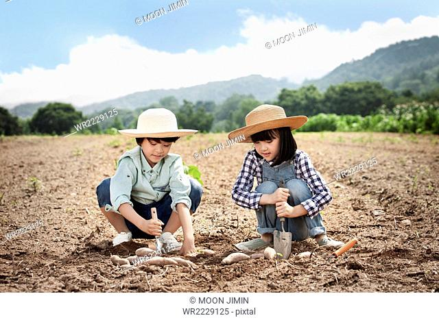 Two kids in a straw hat sitting on the field and harvesting sweet potatoes