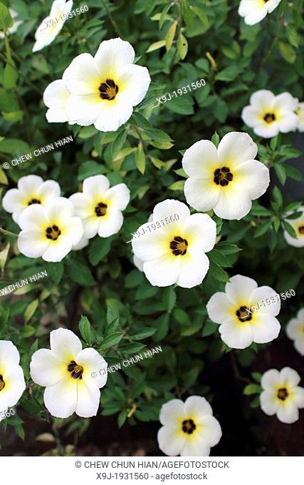 Tropical white flowers, Borneo