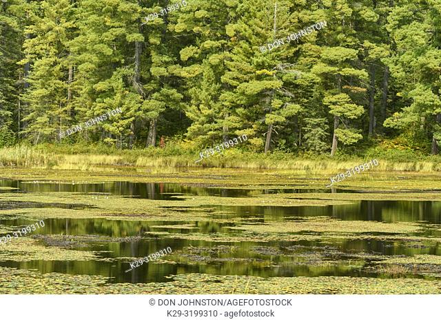 Beaver pond in late summer, Algonquin Provincial Park, Nipissing Township, Ontario, Canada