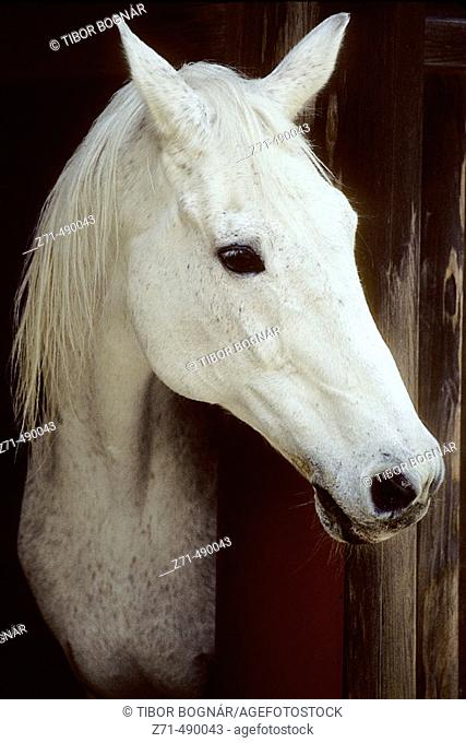 White horse at the Ise-jingu Shinto shrine, Ise. Japan