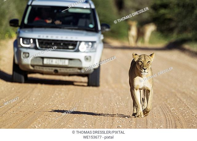 Lion (Panthera leo). Female walking on a road. Behind it a tourist vehicle on a game drive. In the background another two females