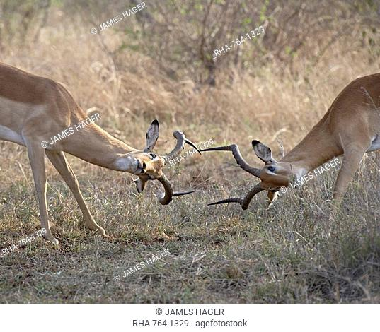 Two male impala Aepyceros melampus sparring, Kruger National Park, South Africa, Africa