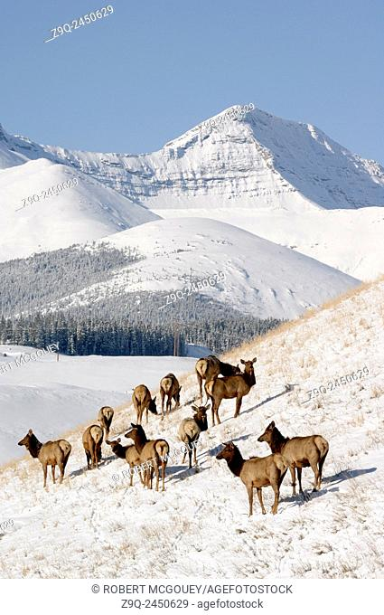 This mountain winter landscape image with a herd of elk 'Cervus elaphus', foraging on a hillside was captured on a crisp day near Cadomine Alberta