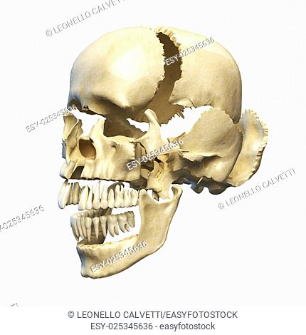 Human skull with parts exploded. Perspective view, on white background. Clipping path included