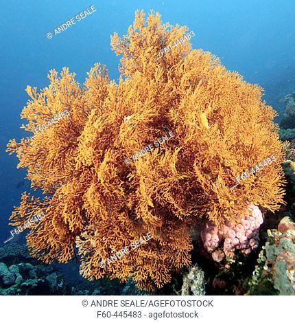Gorgonian sea fan, possibly Astrogorgia sp., Verde Island, Philippines