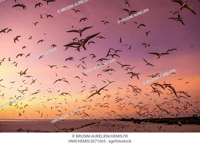 Seychelles, Bird Island, white sandy beach at sunset, flight of the colony of 1.5 million sooty terns (Onychoprion fuscatus), in March