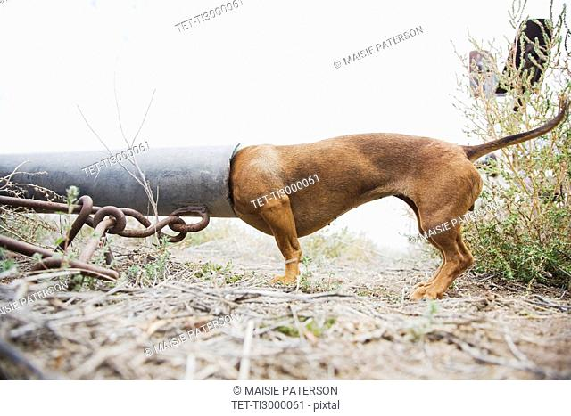 Dog with head in pipe