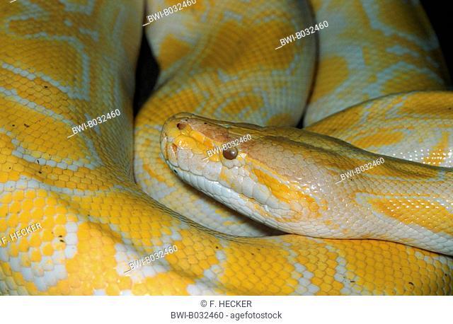 Burmese python (Python bivittatus, Python molurus bivittatus), portrait