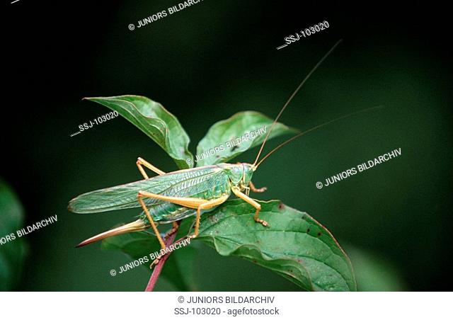 long - horned grashopper on leaf / Tettigoniidae