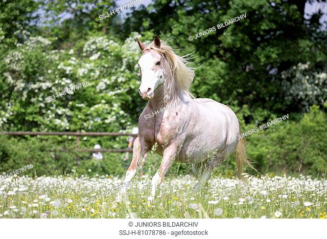 Missouri Fox Trotter. Red roan sabino pinto galloping on a pasture. Switzerland