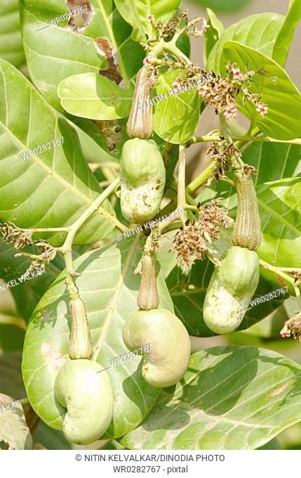 Flowers and unripe cashew fruits with seeds on tree cash crop , Village Jambhulwadi , Pen, Raigad District , Maharashtra , India