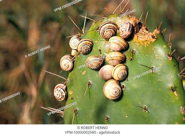 HELIX SPSNAIL SPGROUP ON CACTUSOPUNTIA FICUS-INDICA - OPUNTIA FICUS INDICAINDIAN FIG - PRICKLY PEAR