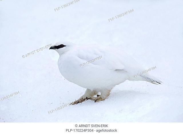 Rock ptarmigan (Lagopus muta / Lagopus mutus) female in winter plumage