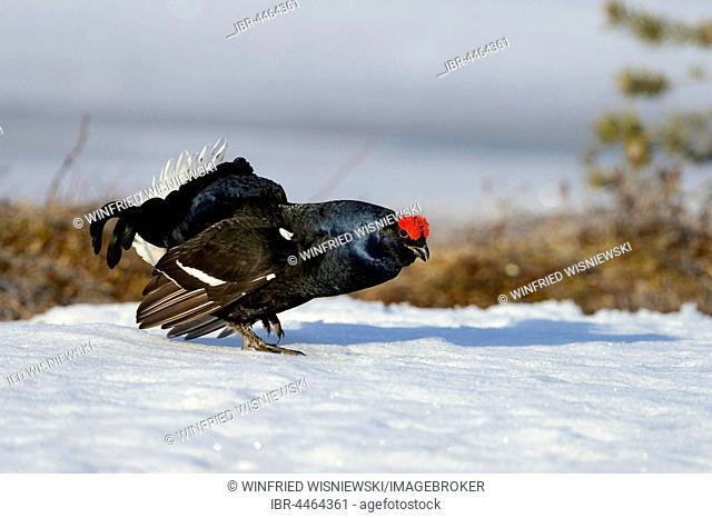 Displaying black cock (Tetrao tetrix) on snow, impending, Finland
