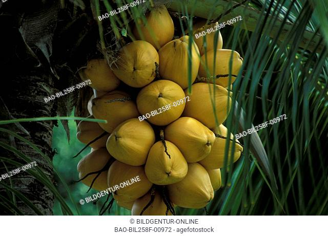 Coconuts on the island Praslin on the Seychelles in the Indian ocean