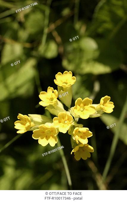 Yellow Flowers, flower, cowslip, elevated view
