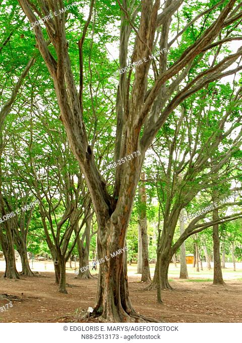 Caesalpinia granadillo trees, Parque del Este, Caracas, Venezuela
