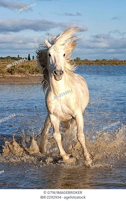 Camargue horse, stallion running in the water, Bouches du Rhône, France, Europe