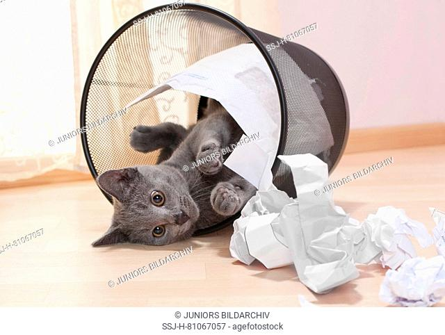 Chartreux cat. Kitten emptying a watepaper basket. Germany