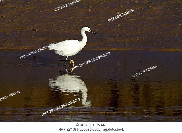 Little Egret, Egretta garzetta, feeding in tidal creek, winter, Norfolk UK