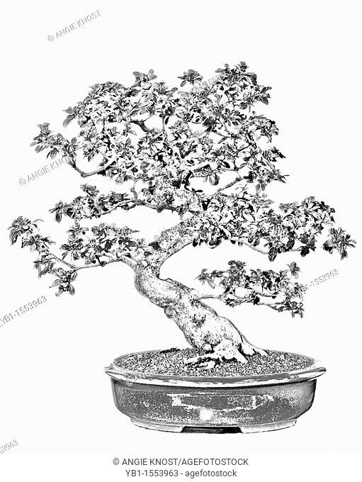 Sketch Style Image Of A Bonsai Tree