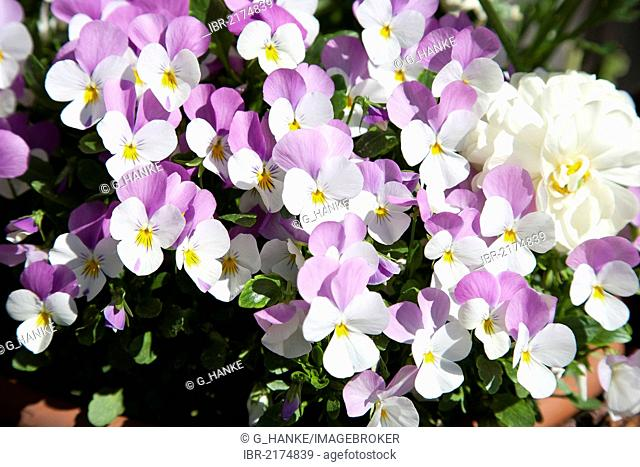 Horned Pansy, Horned Violet, Johnny-Jump-Up (Viola cornuta), white and purple flowers
