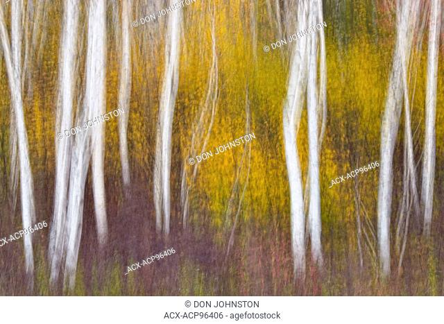 A birch woodlot in autumn, camera pan, Greater Sudbury, Ontario, Canada
