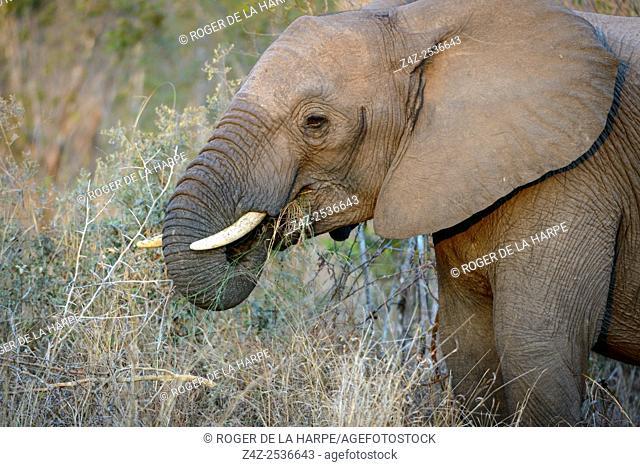 African bush elephant (Loxodonta africana) jevenile feeding. Kruger National Park. Mpumalanga. South Africa