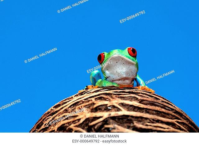 Rotaugenlaubfrosch-Agalychnis callydrias