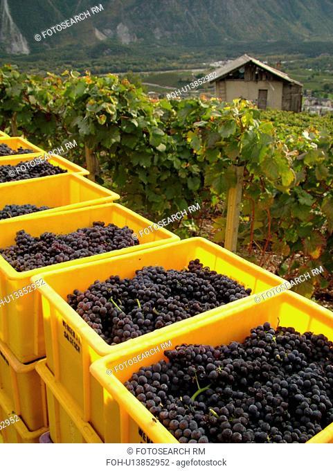 Switzerland, Europe, valais, wallis, Salgesh, Rhone Valley, Fendant Wine Region, wine harvest, vineyards, red grapes
