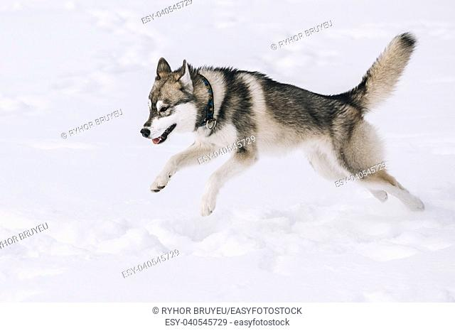 Young Husky Dog Play And Fast Running Outdoor In Snow, Winter Season. Sunny Day