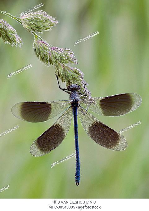 Banded Demoiselle (Calopteryx splendens) damselfly male, Limburg, Netherlands