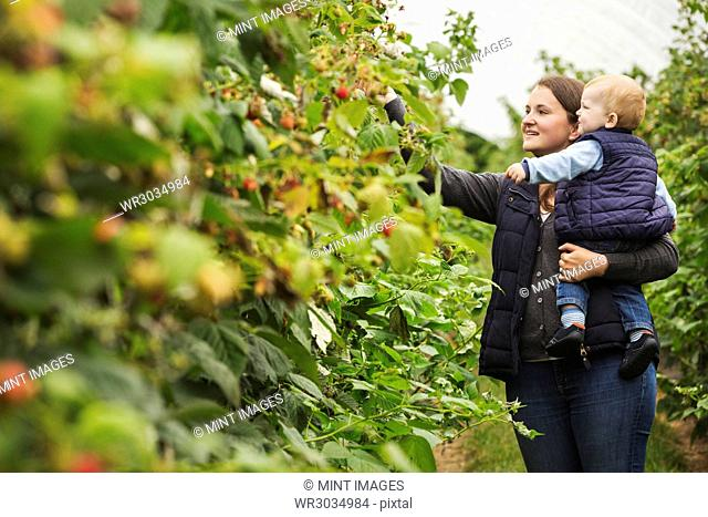 An adult woman and a toddler, a mother and son in a polytunnel among soft fruit bushes picking autumn raspberries