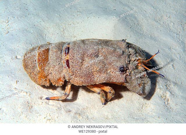 Mediterranean slipper lobster (Scyllarides latus) Red sea, Egypt, Africa
