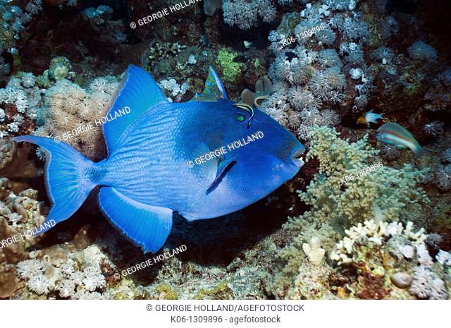 Blue triggerfish Pseudobalistes fuscus with a Blueline cleaner wrasse Labroides dimidiatus  Egypt, Red Sea