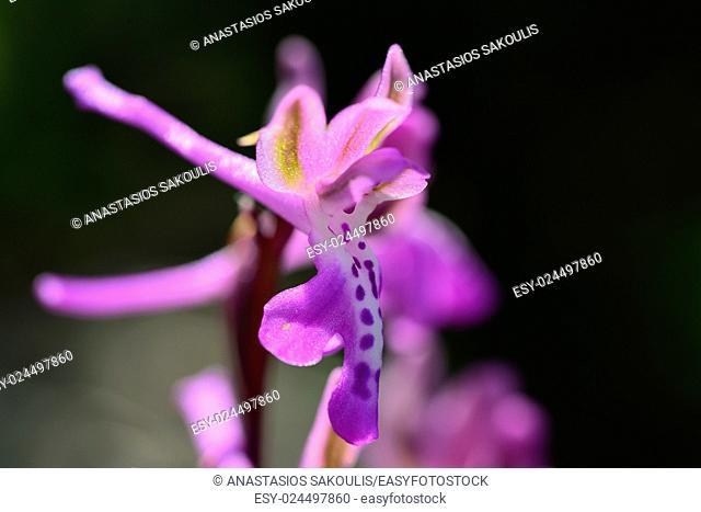 Cretan Orchid (Orchis sitiaca), Crete