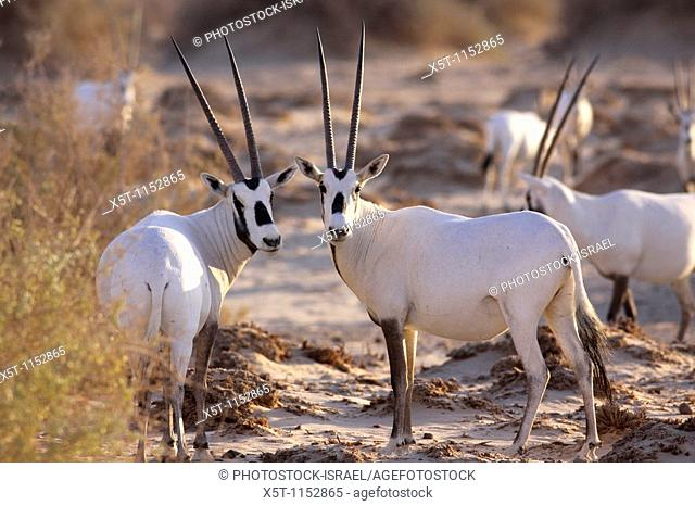 Israel, Aravah desert, A Herd of Arabian White Oryx Oryx leucoryx  The Arabian white oryx is a large white antelope, Almost totally extinct in the wild several...