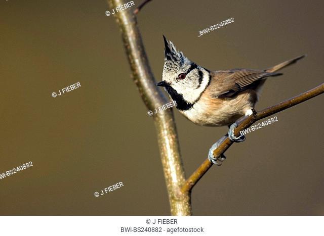 crested tit Parus cristatus, Lophophanes cristatus, sitting on a twig, Germany, Rhineland-Palatinate