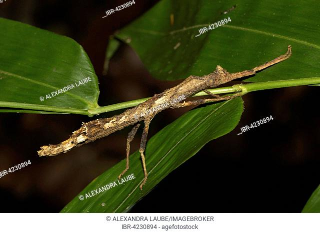 Stick insect (Pseudodatames memorabilis) on leaf, island of Nosy Mangabe, Bay of Antongil, northeast Madagascar, Madagascar