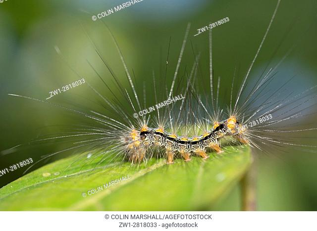 Caterpillar (Lepidoptera order) with long hairs for protection on leaf, Klungkung, Bali, Indonesia